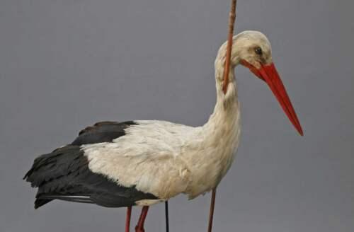 The Arrow Stork