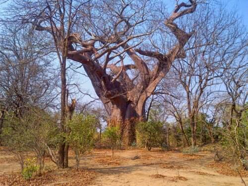 Strom malomocných