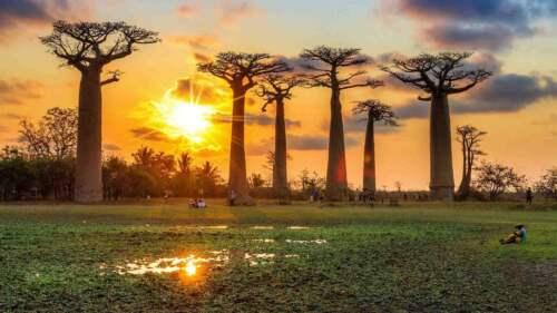 Trieda baobabov