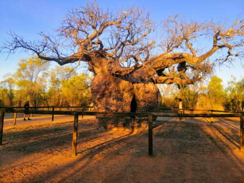 Baobab, Austrália